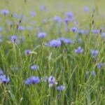 Bachelorbuttonflowers-GettyImages-578185071-45ab6ef002e54633b15efa8b320c4d5e